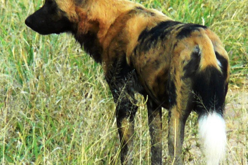 African Wild Dogs Or Painted Dogs Or Painted Wolves