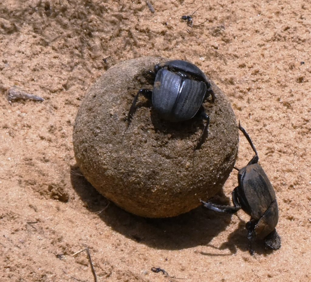 Dung ball being rolled with inert passenger