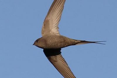 African Palm Swift, In Flight