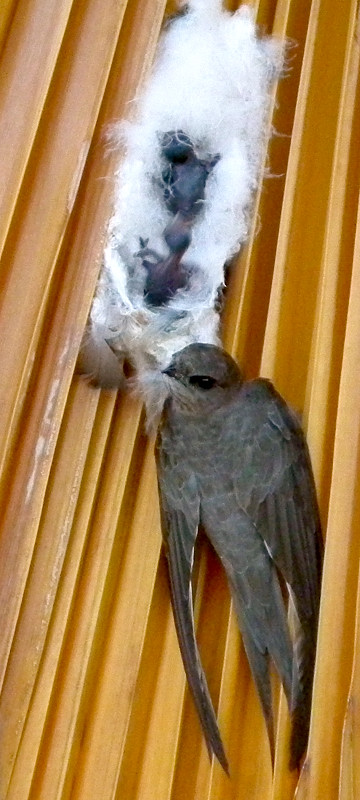 African palm swift, with young