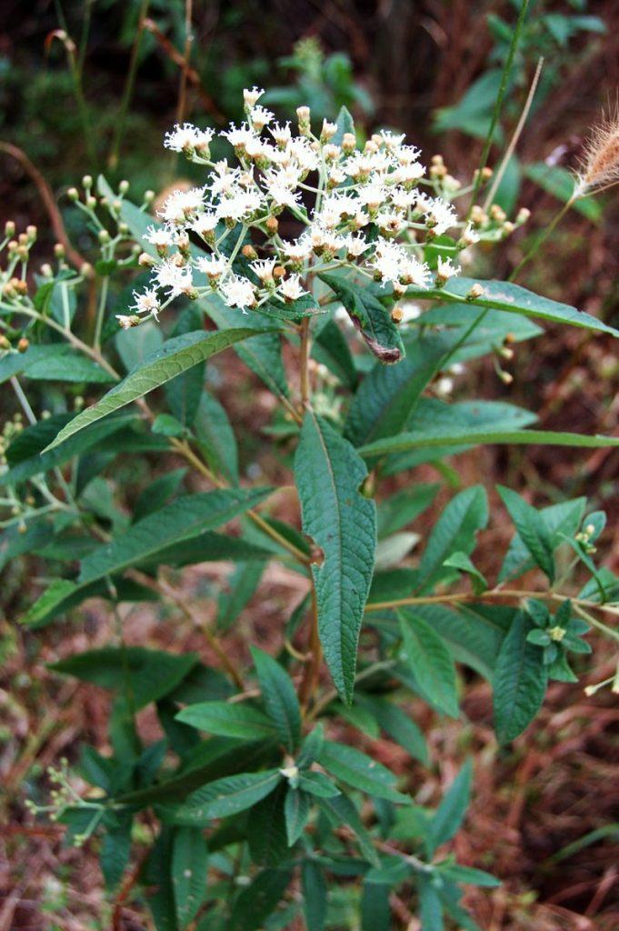 Bee bush
