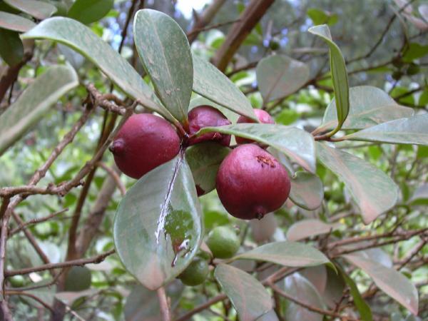 Guava, strawberry or cherry