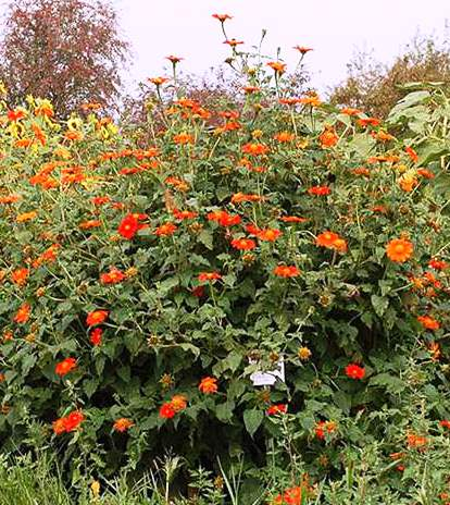 Red or Mexican sunflower