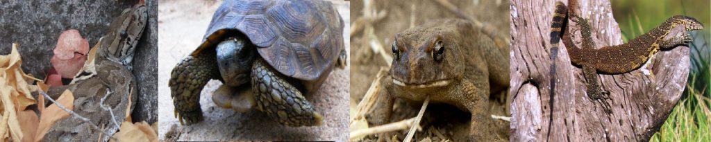 Reptiles & amphibians of Hwange
