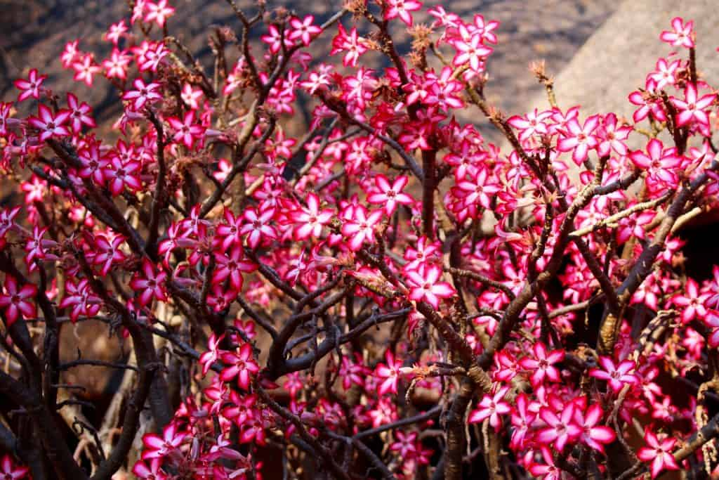 This image has an empty alt attribute; its file name is Sabi-star-bush-in-flower-1024x683.jpg