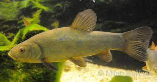 Tinca or doctor-fish