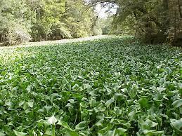 Water hyacinth clogging a waterway