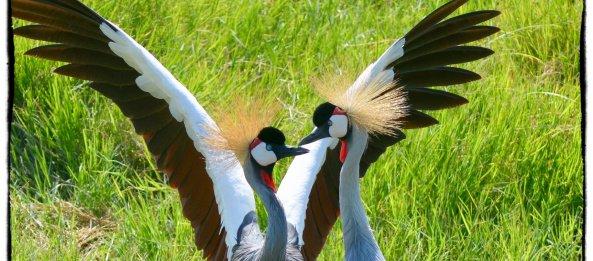 Crowned crane courtship dance