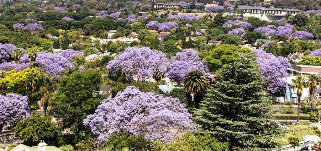 Jacarandas flowering