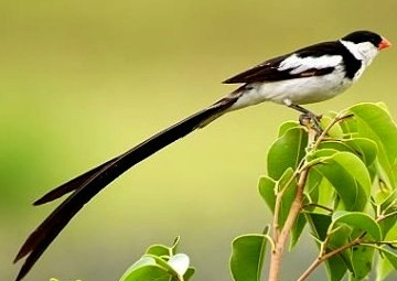 Pin-tailed Whydah,