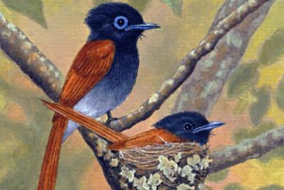 Paradise Flycatcher - Pair