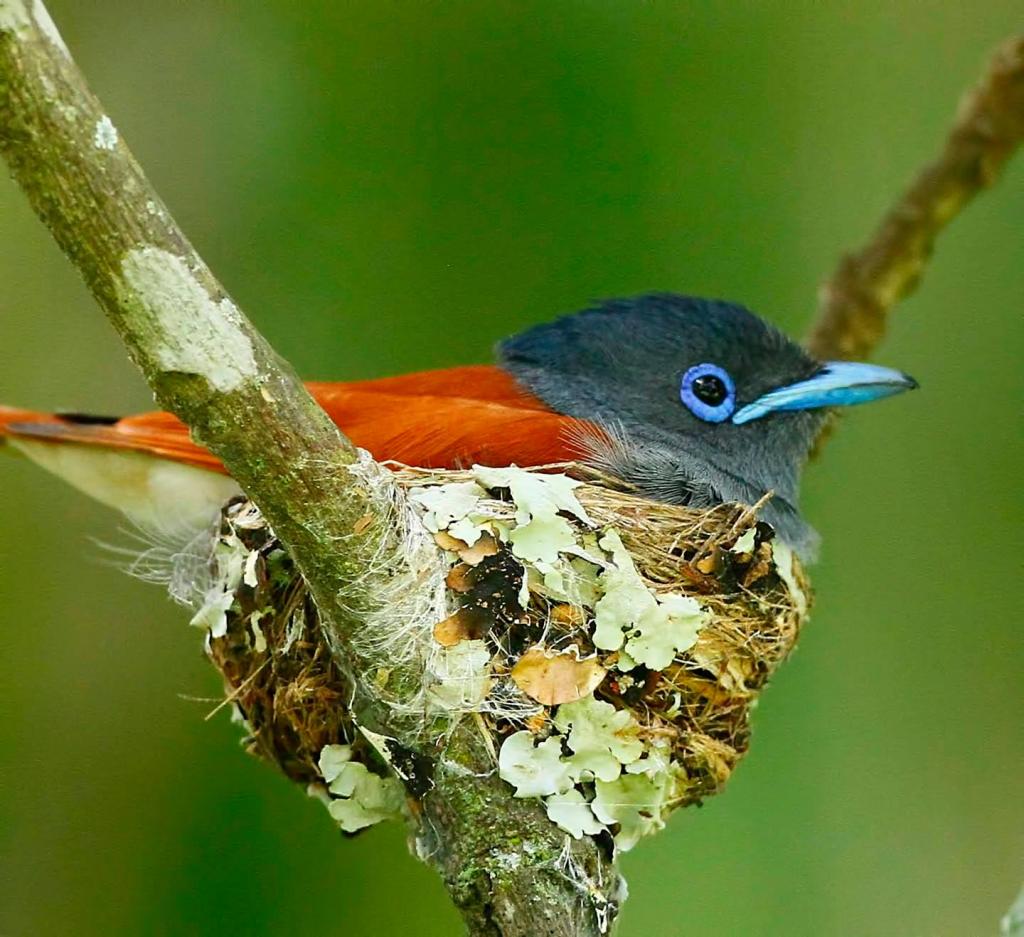 Paradise flycatcher on nest