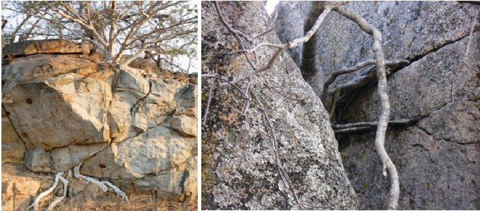 Rock-breaking roots