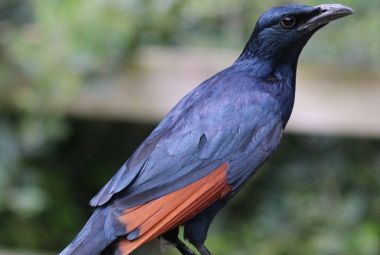 Red-wing Starling
